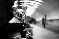 (_storysofar_) Tags: streetphotography streetportrait portrait dog chihuahua hands people station platform underground subway lights blackandwhite monochrome moscow russia fujifilm animals