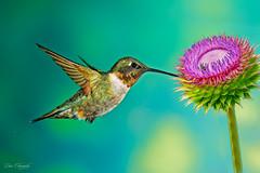 Ruby-throated hummingbird (notdon.com) Tags: bird bokeh hiresolution hummingbird rubythroatedhummingbird flight flying greenbackground sharpbeautiful