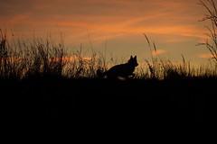 Schatten- Filou (ISOZPHOTO) Tags: isoz isozphoto filou sonnenaufgang sunrise scenery silhouette silhouettes olympus zuiko omd em10 1442 hund dog chien