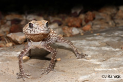 Northern Knob-tailed gecko (Nephrurus sheai) (J.Ramos15) Tags: lizard gecko reptile australia western kimberley king leopold nephrurus knobtail carphodactylidae