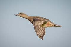 American Wigeon Hen fly-by (tresed47) Tags: 2017 201701jan 20170126semarylandbirds birds cambridge canon7d content ducks flightshot folder general january maryland peterscamera petersphotos places season takenby us widgeon winter