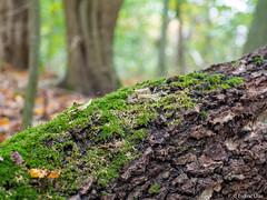 Moss (✦ Erdinc Ulas Photography ✦) Tags: lenstagger konica hexanon autumn forest vintagelens smooth background holland dutch netherlands nederland closeup panasonicg80 panasonic green nature tree moss bokeh