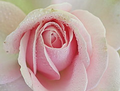 pink beauty (majka44) Tags: rose pink soft drops droplet nature light macro macroworld water rain