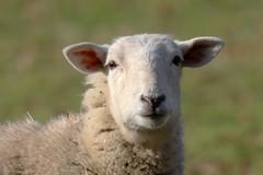 Hello Human! (RiverCrouchWalker) Tags: sheep hellohuman smileonsaturday greatwarley essex february 2019