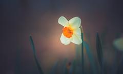 Wild Daffodil (Dhina A) Tags: sony a7rii ilce7rm2 a7r2 a7r samyang 135mm f20 f2 samyang135mmf20 bokeh bokehlicious smooth soft creamy manualfocus wild daffodil spring