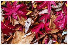 Aurum et rubrum (_Matt_T_) Tags: leaves smcpa100mmf40macro birch alder autumn maple fall random litter