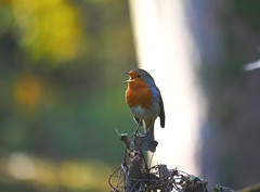 A happy robin (seenbynick) Tags: robin singing bird wildlife nature outdoors sunshine garden macro park autumn heskethparksouthport