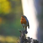 A happy robin thumbnail
