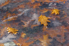 Lapham Delafield Segments Ice Age Trail-28.jpg (NetAgra) Tags: kettlepond waukeshacounty frosty orange color autumn frozen iceagetrail wisconsin leaves cold novermber brown fall oak red
