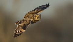 Short-eared owl - Eye-to-Eye (Ann and Chris) Tags: avian amazing awesome adorable bird beak beautiful eyes flying gorgeous gliding impressive incredible incoming looking owl stunning shortearedowl shorteared unusual unbelievable outdoors vivid wild wings