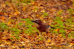 Autumnal Jay (SLHPhotography1990) Tags: 2018 hersey life nature november reserve wild autumn bird jay leaves leaf colour wood land floor scatter autumnal