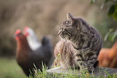 oscar and friends (Emma Varley) Tags: cat chickens garden sunday peaceful relaxing home pets farm animals family