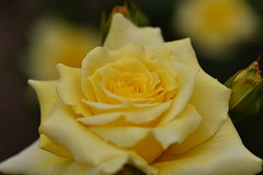 Rose 'Gold Bunny' raised in France (naruo0720) Tags: rose beautifulroses バラ sigmalenses nikonscamera d810 sigma105mmf28exdgoshsm frenchrose goldbunny frenchrosescollection フランスのバラ ゴールドバニー フランスのバラコレクション