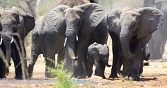 _DSC9489 (acomb) Tags: tanzania roadtrip ruaha tandala elephants