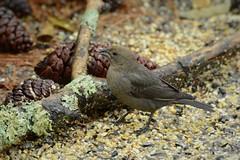 Brown-headed Cowbird female 12-16-2018 Lincoln Co. KY (jackiebelmore) Tags: molothrusater brownheadedcowbird cowbird broodparasite lincolnco kentucky nikon7100 tamronsp150600f563 jackiebelmore kos