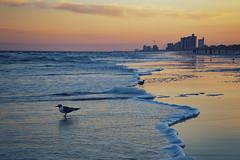 Don't Drift Away (matthewkaz) Tags: bird birds gull gulls seagull seagulls laughinggull beach waves foam ocean atlanticocean water reflection reflections sand sky clouds sunset myrtlebeach sc southcarolina 2017
