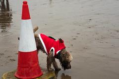 Porthcawl - Christmas Day 2018 4 (stevedexteruk) Tags: christmasswim porthcawl dog 2018 wales christmas beach seaside uk swim xmas cone trafficcone