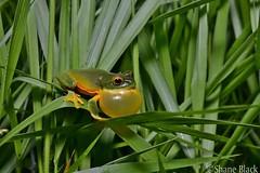 Orange-thighed Tree Frog (Litoria xanthomera) (shaneblackfnq) Tags: orangethighed tree frog litoria xanthomera shaneblack amphibian mt mount lewis jualtten fnq far north queensland australia tropics tropical rainforest calling breeding