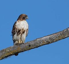 Red-tailed hawk (explored 01/05/2019) (Lynn Tweedie) Tags: beak tail leessummitmunicipalairport canon ngc animal blue 7dmarkii tree bird branch sky feathers eye missouri sigma150600mmf563dgoshsm redtailedhawk