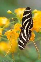 Zebra longwing (Rene Mensen) Tags: zebra longwing butterfly black yellow rene mensen macro mariposa micro nikon nikkor nature insect schmetterlinge wildlands emmen flower