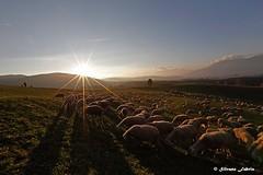 Si fa sera... (silvano fabris) Tags: canon sunset tramonto gregge pecore nature paesaggio landscape