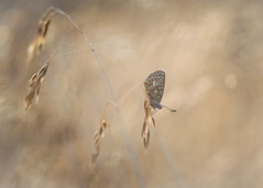 butterfly dreams (Emma Varley) Tags: butterfly grass golden light nature insect beauty bokeh warmth joy brownargus