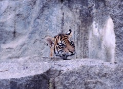 See you (pianocats16) Tags: tiger baby cub cute portrait tierpark zoo berlin
