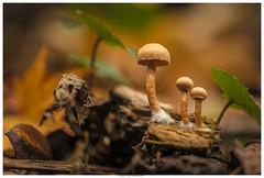 Three (Brian P Slade Photography) Tags: fungi nature three macro sigma canon canonphotography mushrooms brianpsladephotography brianpslade foliage uk perspective