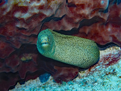 Goldentail Moray Eel (Gymnothorax miliaris) (oceanzam) Tags: eel moray scuba diving ocean sea water underwater fish marine biology travel nature mexico cozumel color teeth eyes beach shore holiday spots uwphotography