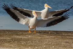 Double-stack (ChicagoBob46) Tags: americanwhitepelican whitepelican pelican jndingdarlingnwr florida sanibel sanibelisland nature wildlife naturethroughthelens ngc coth5 npc