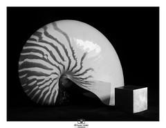 - Nautilus and Tungsten Cube - (no. 2) (claudiov958) Tags: biancoenero blancoynegro claudiovaldés cube černýabílý nautilus nautilusshell noiretblanc pentax645z pentaxart pretoebranco smcpentax120mmf4macro tabletop blackwhite czarnyibiały mediumformat ngc schwarzundweiss tungsten черноеибелое
