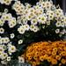 fleurs de septembre
