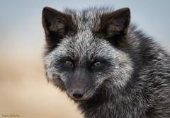 Silver Fox Portrait (Melissa M McCarthy) Tags: silverfox fox animal nature wildlife wild outdoor portrait face closeup black grey white blue yellow bokeh amber eyes cute stjohns newfoundland canada canon7dmarkii canon100400isii