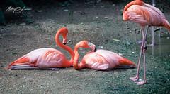 Flamingos (stacybevilawrence) Tags: outside canon flamingo flamingos wildlife nature photograpghy bird birds pink red dof