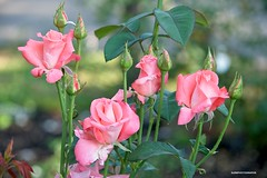 Pink Roses (JSB PHOTOGRAPHS) Tags: jsb7014 pink roses owenmemorialrosegarden owenrosegarden eugeneoregon nikon bokehlicious bokeh leaves d3 28300mm