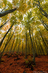 Beech tree trunks (Mavroudakis Fotis) Tags: forest dreamscape autumn woods trees vivid foliage lush nature rays outdoors path road trunk colorful yellow greece europe destination traveling hikking mountain leaves