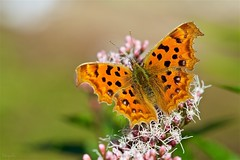 Asian Comma (Polygonia c-aureum) (takapata) Tags: sony sel90m28g ilce7m2 macro nature flower insect butterfly