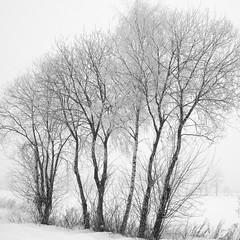 snow fog trees (vertblu) Tags: snow snowy snowcovered snowytrees trees treesinmist winter wintry wintery winterysnowy baretrees mono bw fields snowyfields fog foggy fogandmist winterfog mist misty bsquare 500x500 vertblu freezingfog frozenfog hoar hoarfrost rime rimy frostyrime frost frosty
