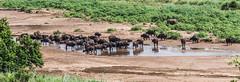 Cape buffalo watering, Hluhluwe National Park, South Africa I (Gerry Lynch/林奇格里) Tags: southafrica buffalo hluhluwe kwazulunatal safari