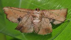 Geometrid Moth Cernia amyclaria Oenochrominae Geometridae Airlie Beach rainforest P1110337 (Steve & Alison1) Tags: geometrid moth cernia amyclaria oenochrominae geometridae airlie beach rainforest