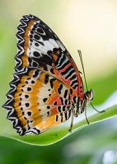 Colorful Butterfly (billcoo) Tags: 6dii 6d2 2 bokeh macro insect