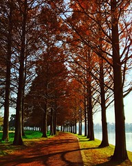 A path of metasequoia trees (Kito K (fxkito2)) Tags: nature japan color tokyo iphone7 red