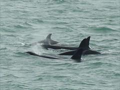 Killer Whales in the Auckland Harbour - New Zealand (♥ L'humoureuse :-)) Tags: killerwhales orques épaulard grampus newzealand nouvellezélande aucklandharbour orca