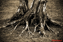 Roots (red.richard) Tags: tree roots sepia texture soil flora nikon d800