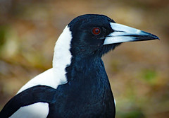 Magpie (Uhlenhorst) Tags: 2011 australia australien animals tiere birds vögel travel reisen