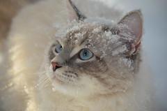 Мой снежный кот. (Angelok-Happy) Tags: мойснежныйкот рикки снег зима счастье знакомствоwinter snow snowflakes mysnowcat acquaintancewithsnow