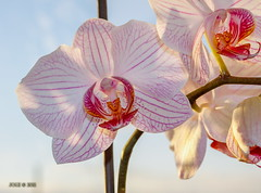 """Weiß-rote Orchideenblüte"" (joergpeterjunk) Tags: makro macro experiment pflanze struktur muster organischesmuster blatt orchideenblüte canoneos50d canonef2880mmf3556"