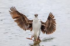 .....and we have splashdown! (Linda Martin Photography) Tags: southgeorgia southatlanticocean nature bird juvenile phalacrocoraxbransfieldensis wildlife antarcticcormorant oceanharbour naturethroughthelens coth coth5