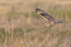 Short-eared Owl (Alex Perry Wildlife Photography) Tags: asio asioflammeus owl shortearedowl bird birdphotography alexperry alexperryphotography wildlifephotography sandwichbay ancienthighway kent strigidae