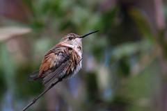 Hummingbird warming in the sun (Stephen G Nelson) Tags: desert tucson arizona bird hummingbird botanicalgarden